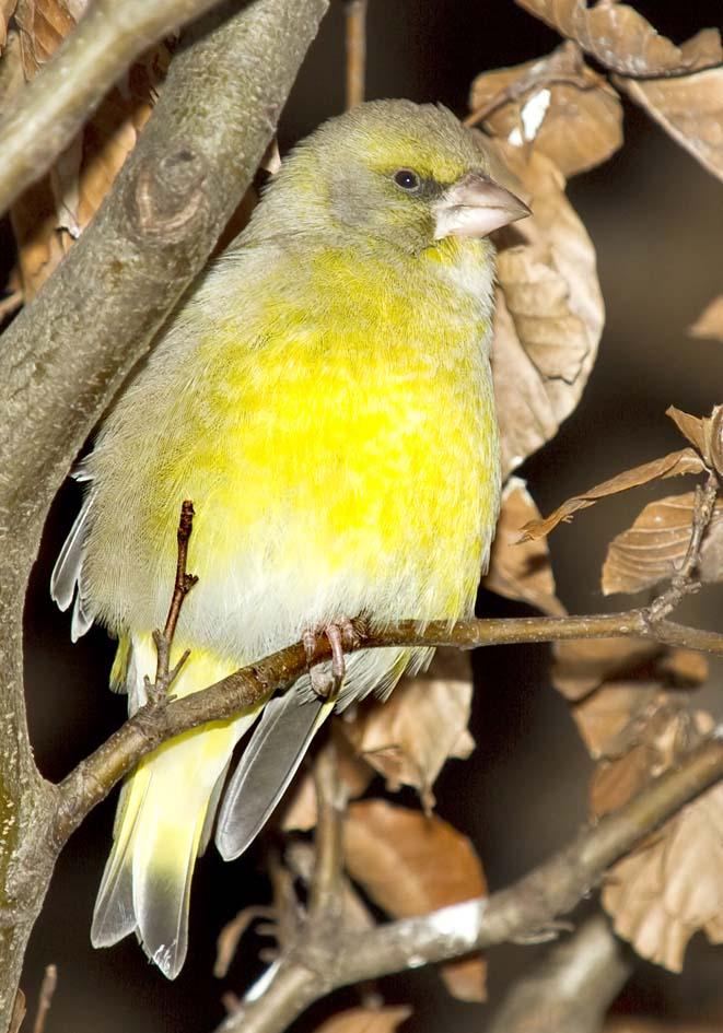Carduelis chloris - Grünfink -  - Passeres - Singvögel - songbirds