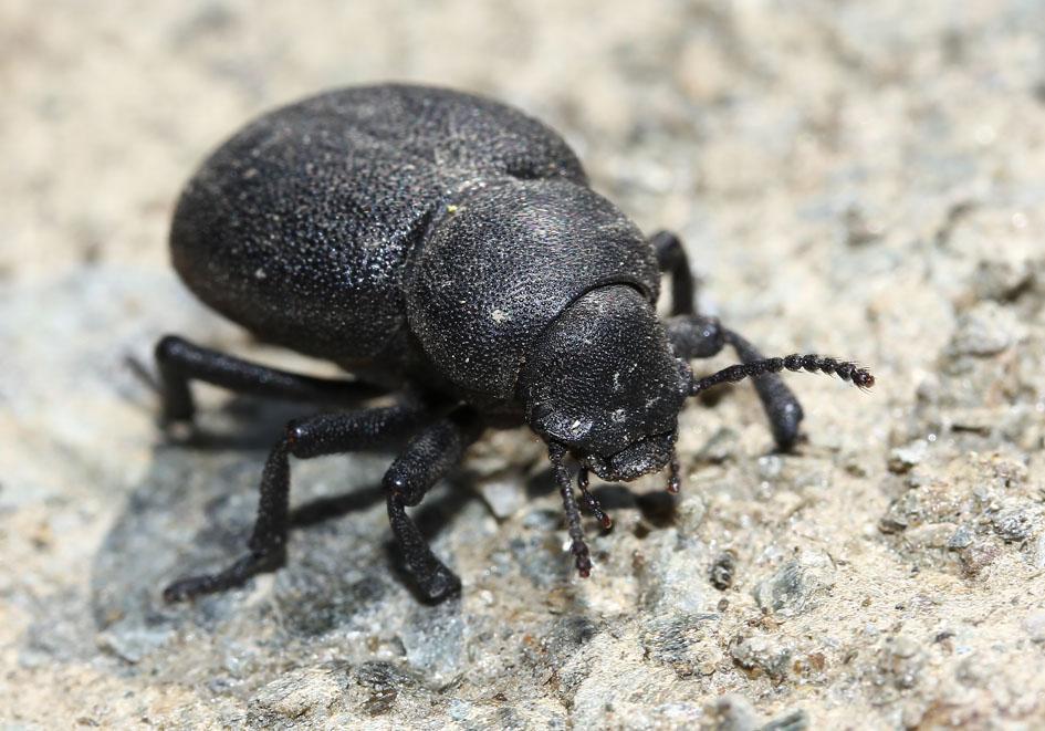 Graecopachys quadricollis  - Andros - Tenebrionidae - Schwarzkäfer - darkling beetles