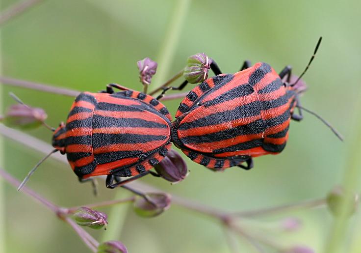 Graphosoma lineatum - Streifenwanze - Fam. Pentatomidae - Baumwanzen - Heteroptera - Wanzen - true bugs