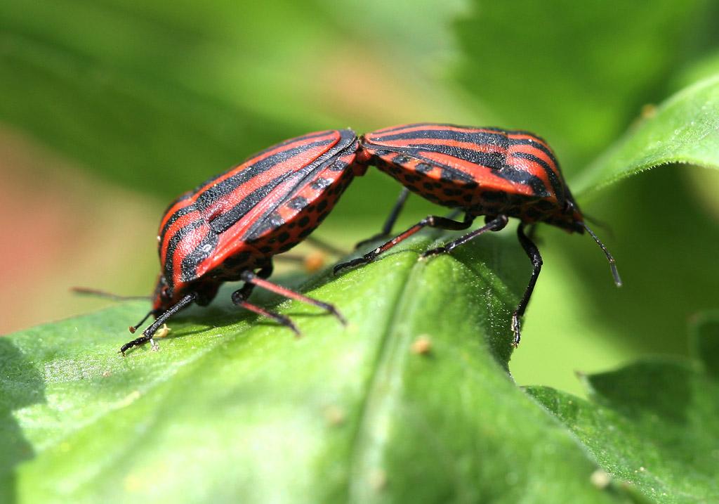 Graphosoma lineatum - Streifenwanze - Fam. Pentatomidae  -  Sifnos - Heteroptera - Wanzen - true bugs