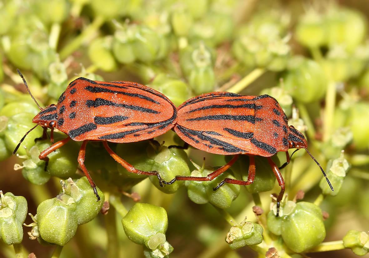 Graphosoma semipunctatum - Gefleckte Streifenwanze   - Fam. Pentatomidae  -  Folegandros - Heteroptera - Wanzen - true bugs