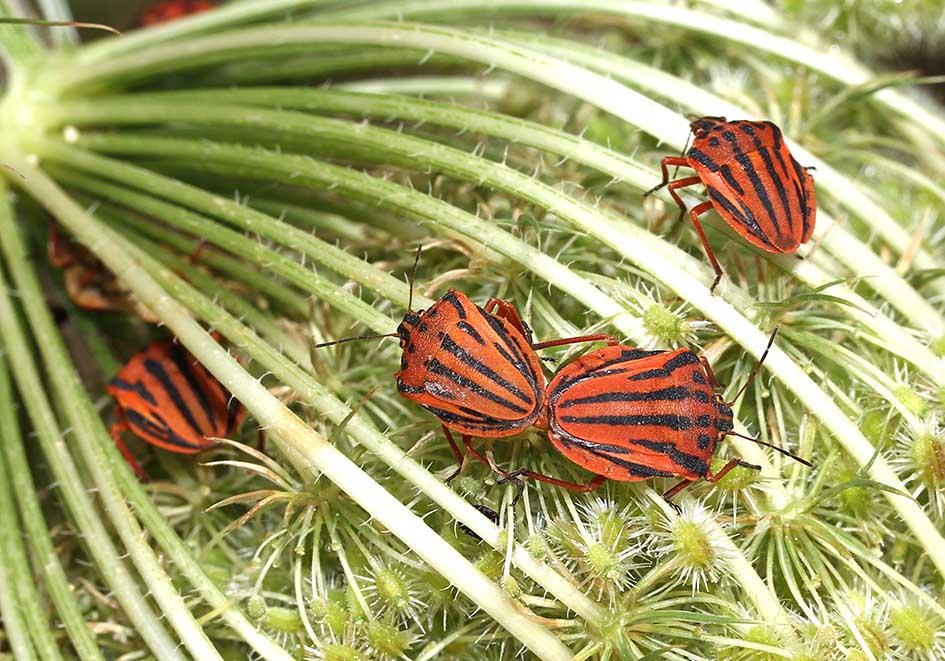 Graphosoma semipunctatum - Fam. Pentatomidae  -  Ikaria - Heteroptera - Wanzen - true bugs
