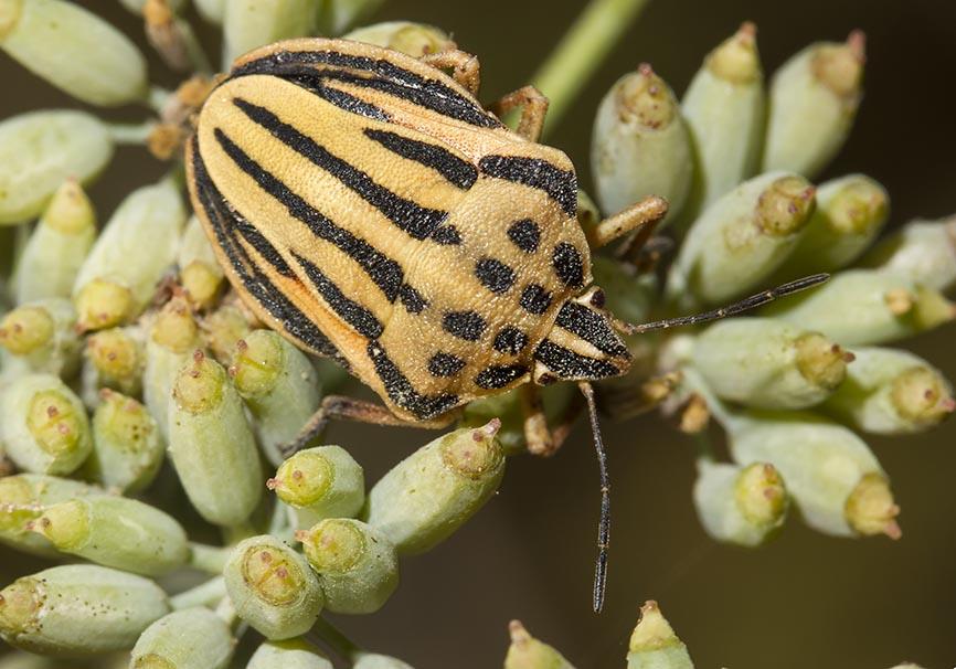 Graphosoma semipunctatum - Fam. Pentatomidae  -  Naxos - Heteroptera - Wanzen - true bugs