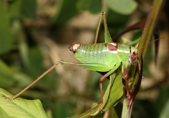 Barbitistes yersini - Graugrüne Säbelschrecke - Kroatien - Ensifera - Phaneropteridae - Sichelschrecken -