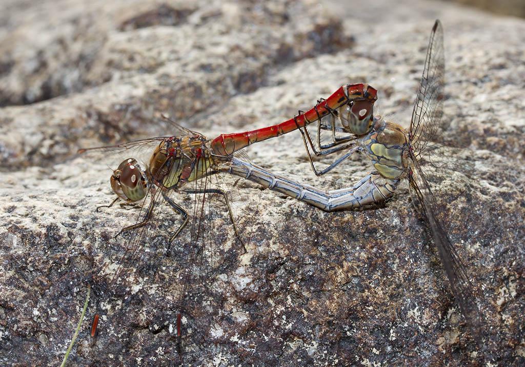 Sympetrum striolatum - Große Heidelibelle   - Fam. Libellulidae  -  Sardinien - Anisoptera - Großlibellen - dragonflies