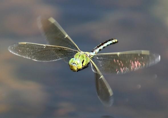 Große Königslibelle-Anax imperator - Fam. Aeshnidae - Edellibellen - Anisoptera - Großlibellen - dragonflies