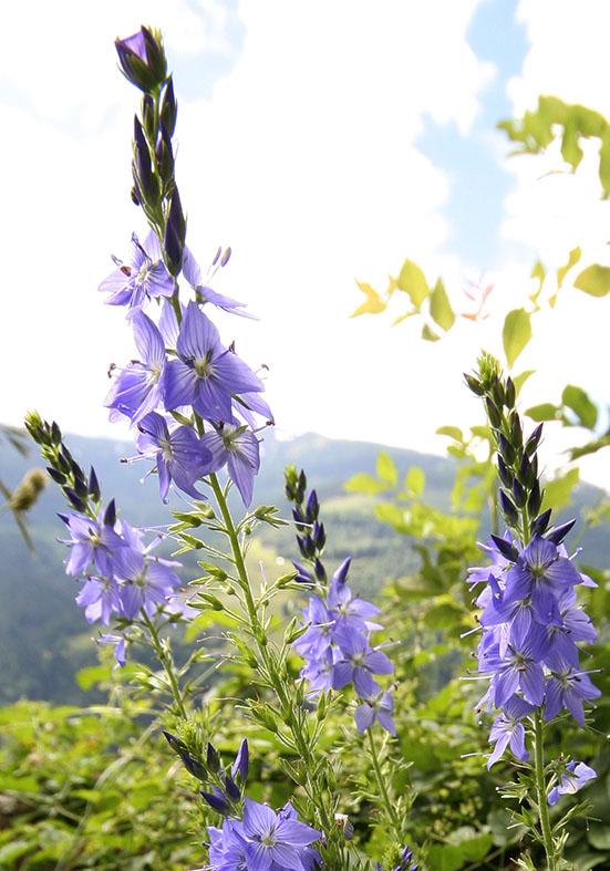 Veronica teucrium - Großer Ehrenpreis - Fam. Scrophulariaceae - Trockenrasen - dry grasslands