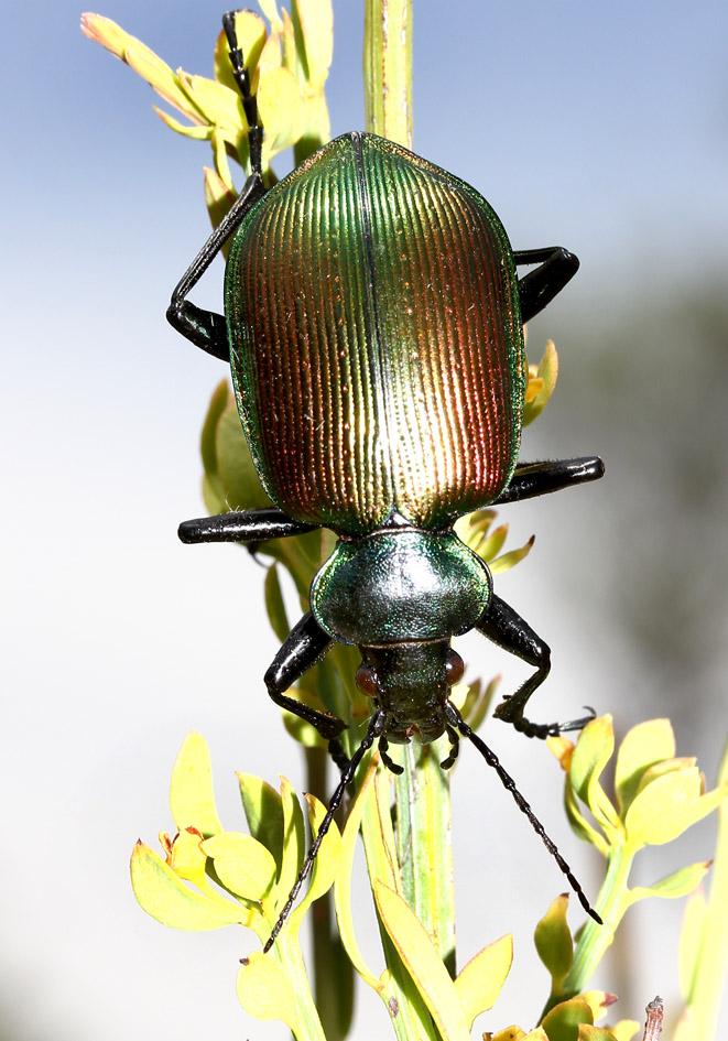 Calosoma sycophanta - Große Puppenräuber  - Lesbos - Carabidae - Laufkäfer - ground beetles