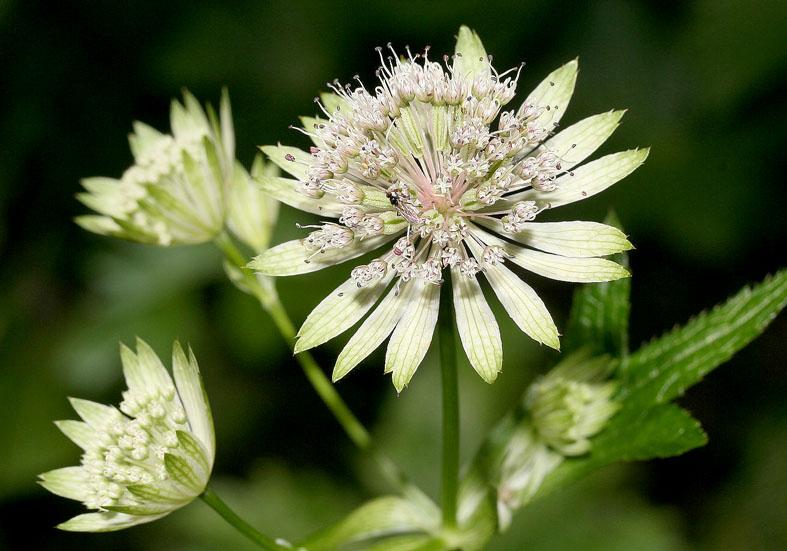 Astrantia major - Große Sterndolde - Fam. Apiaceae - Wald - forest