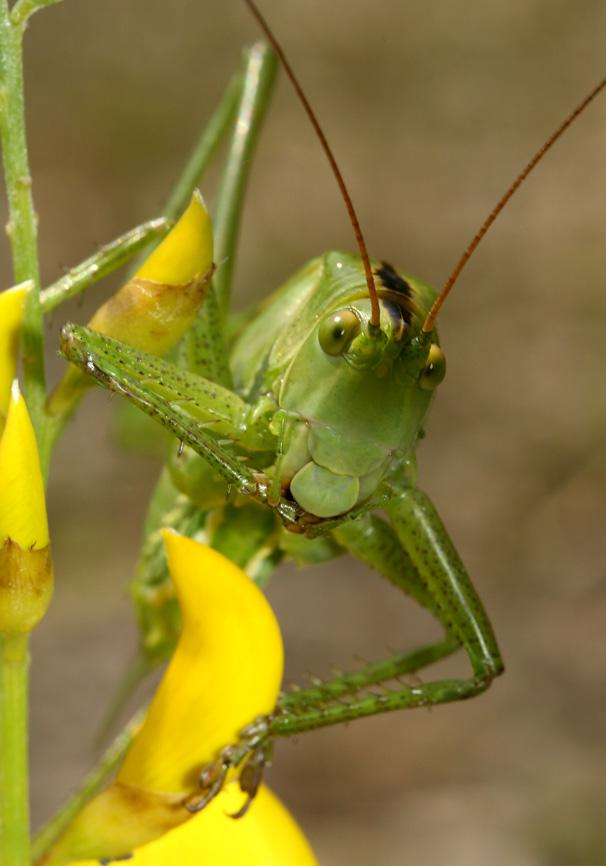 Tettigonia viridissima - Grünes Heupferd -  Kroatien - Ensifera - Tettigonidae - Laubheuschrecken - bush crickets