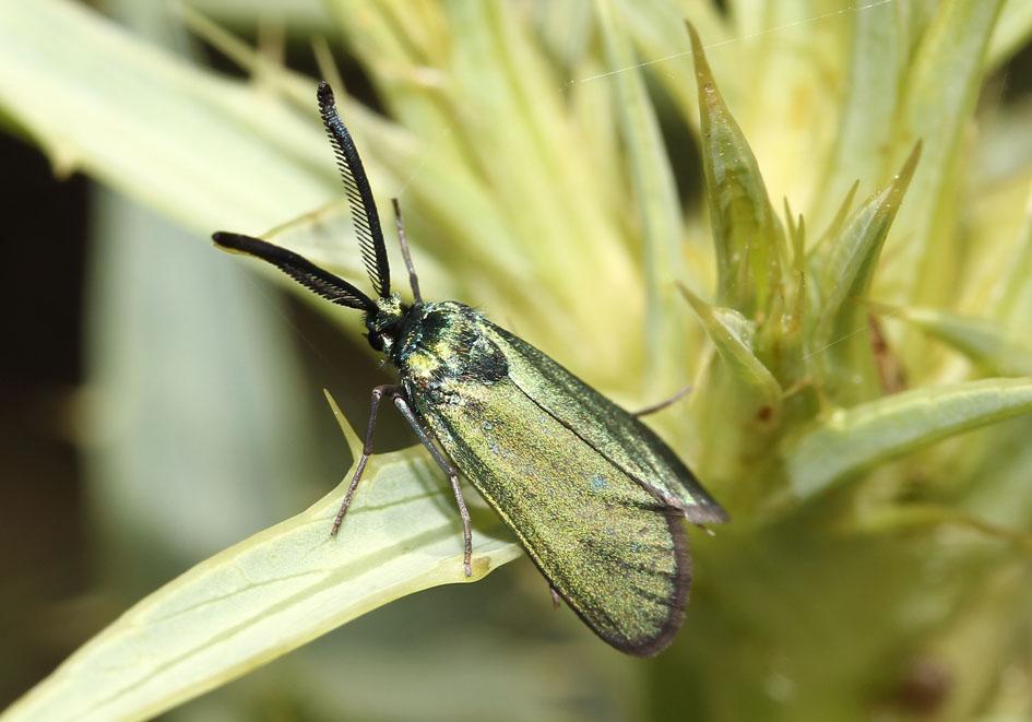Adscita sp. - Grünwidderchen  - Lesbos - Zygaenidae - Widderchen - burnets