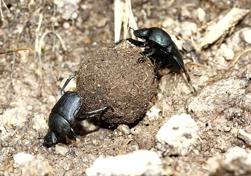 Gymnopleurus  sturmii - Fam. Scarabaeidae  - Lesbos - Scarabaeidea - Blatthornkäfer - scarab beetles