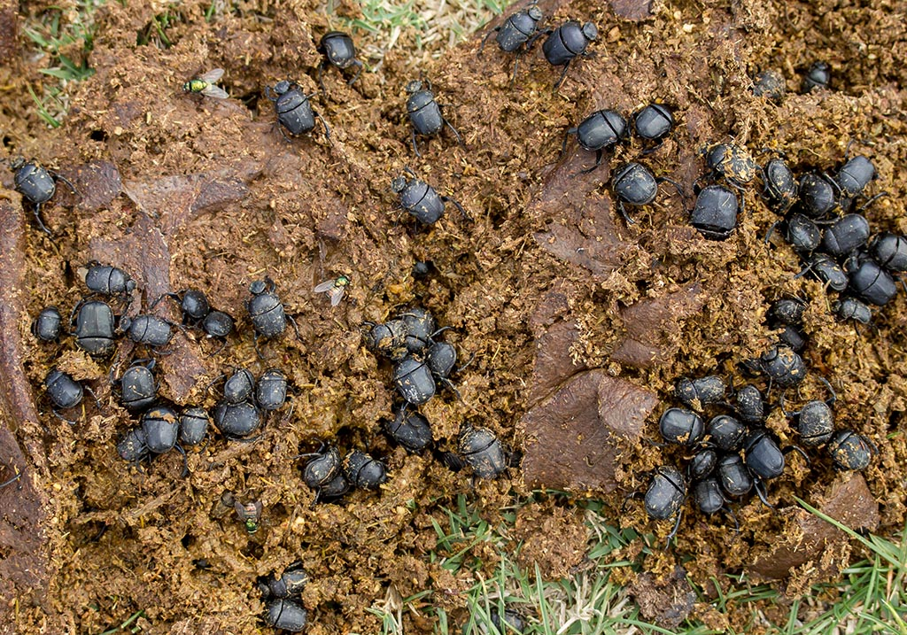 Gymnopleurus  sturmii - Fam. Scarabaeidae  - Sardinien - Scarabaeidea - Blatthornkäfer - scarab beetles