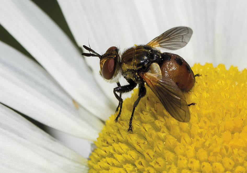 Gymnosoma sp. - Fam. Tachinidae - Schmarotzerfliegen - Brachycera (Fliegenartige) - Schizophora - muscoids