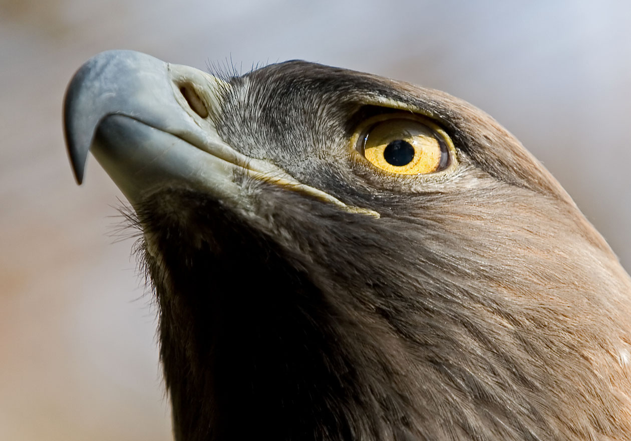 Aqulia chrysaetos - Steinadler - Golden eagle -  - Accipitriformes - Greife - birds of prey