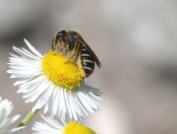 Halictus maculatus - Dickkopf-Furchenbiene -  - Apiformes - Halictidae - Bienen - bees