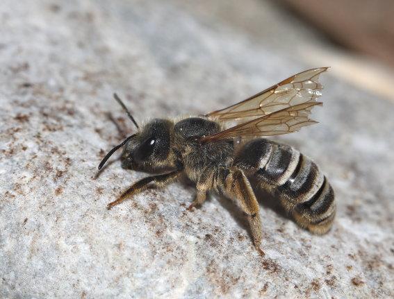 Halictus scabiosae - Gelbbindige Furchenbiene -  - Apiformes - Halictidae - Bienen - bees