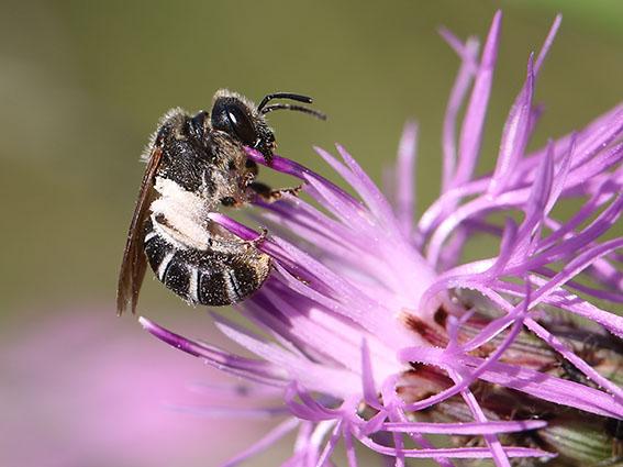 Halictus simplex - Gewöhnliche Furchenbiene - Weibchen - female - Apiformes - Halictidae - Bienen - bees