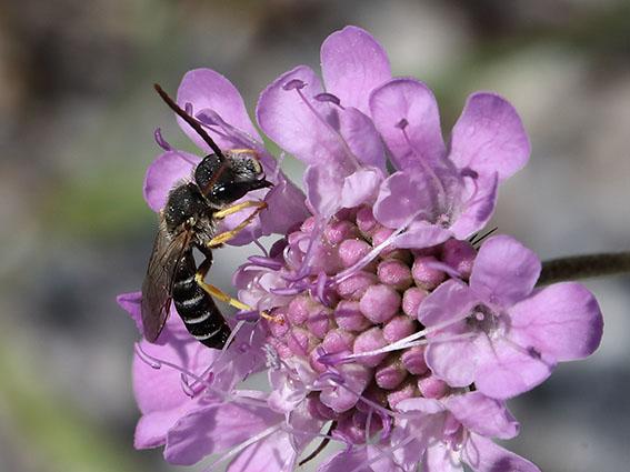 Halictus simplex - Gewöhnliche Furchenbiene - Männchen - male - Apiformes - Halictidae - Bienen - bees