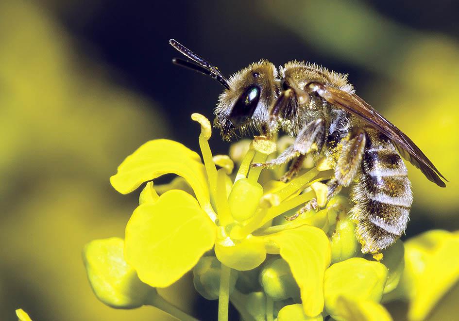 Halictus subauratus - Goldglänzende Furchenbiene -  - Apidae - Halictinae - Bienen - bees