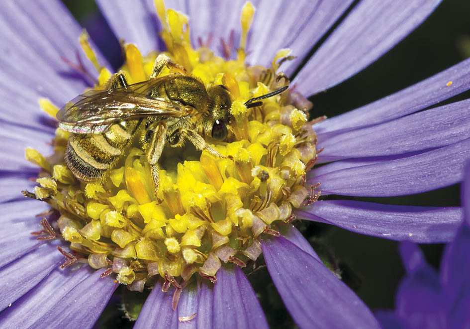 Halictus subauratus (female)  - Goldglänzende Furchenbiene -  - Apidae - Halictinae - Bienen - bees