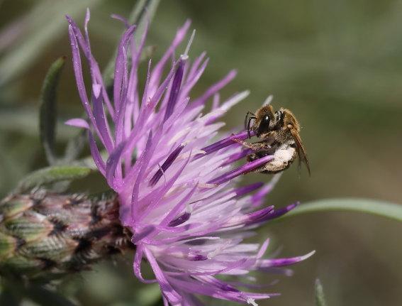 Halictus subauratus - Goldglänzende Furchenbiene - Weibchen - female - Apiformes - Halictidae - Bienen - bees