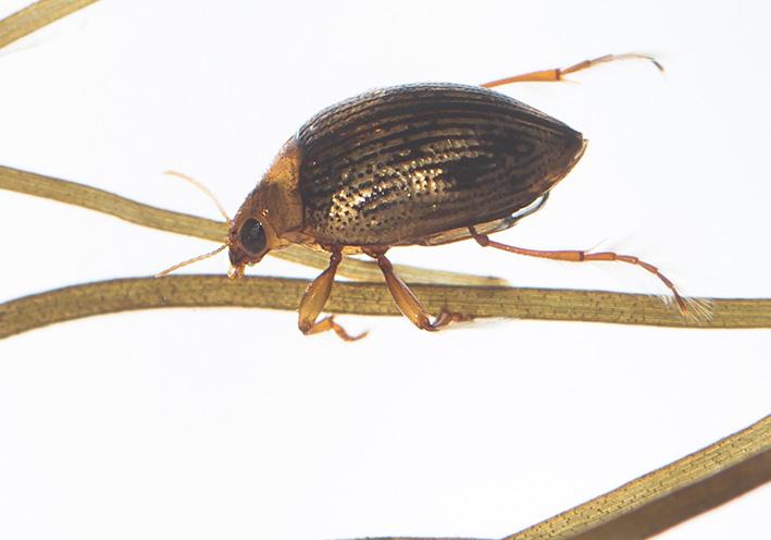 Haliplus sp. Wassertreter - Fam. Haliplidae - weitere Käferfamilien - other beetle families
