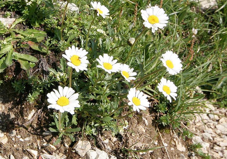 Leucanthemum atratum halleri - Hallers Margerite (Kalk) - Fam. Asreraceae - Felsschutt - gravel