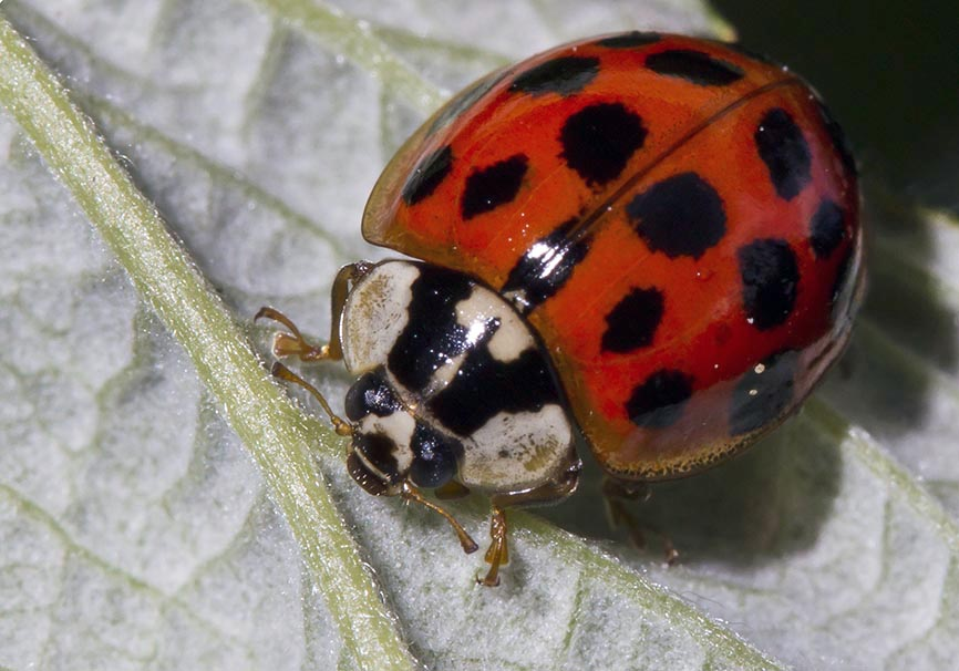 Harmonia axyridis - Asiatischer Marienkäfer -  - Coccinellidae - Marienkäfer - lady beetles