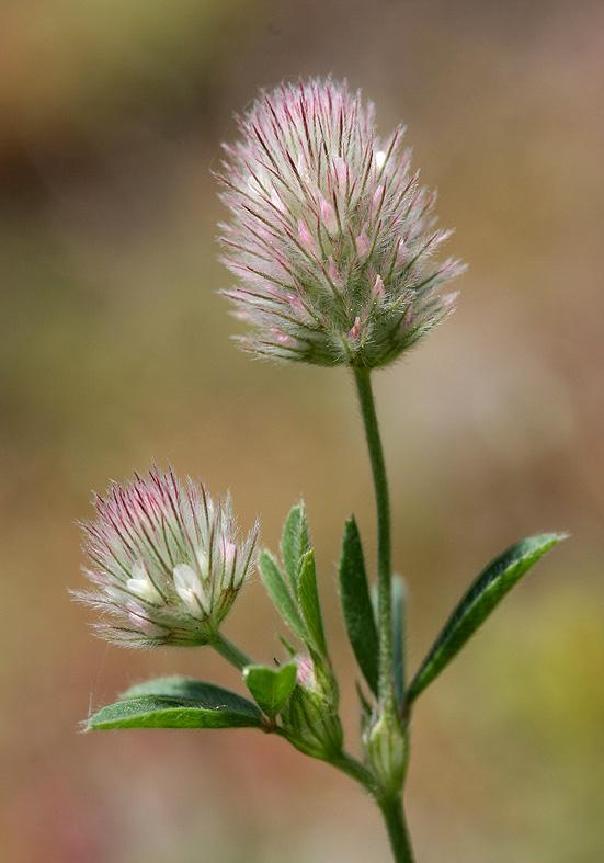 Trifolium arvense - Hasen-Klee  - Fam. Fabaceae - Trockenrasen - dry grasslands