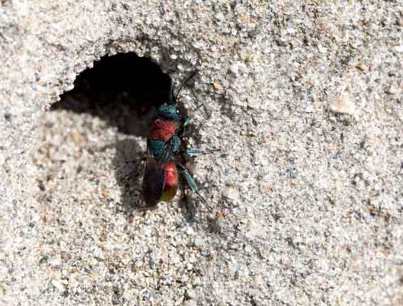 Hedychrum nobile - Sand-Goldwespe - Weibchen female - Chrysididae - Goldwespen - Gold wasps