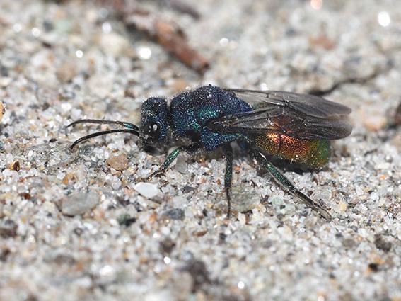 Hedychrum nobile - Sand-Goldwespe - Männchen - male - Chrysididae - Goldwespen - Gold wasps