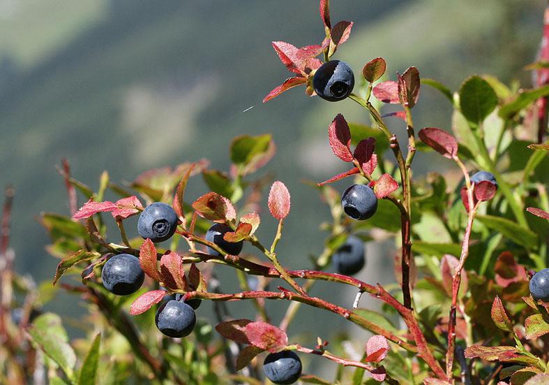 Vaccinium myrtillus - Heidelbeere - Fam. Ericaceae - Bergwald/Waldgrenze - mountain forest/timberline