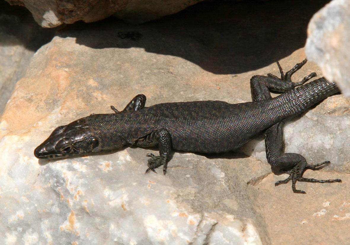 Hellenolacerta graeca - Griechische Mauereidechse - Mani/Peloponnes - Lacertidae - Eidechsen - Lizards