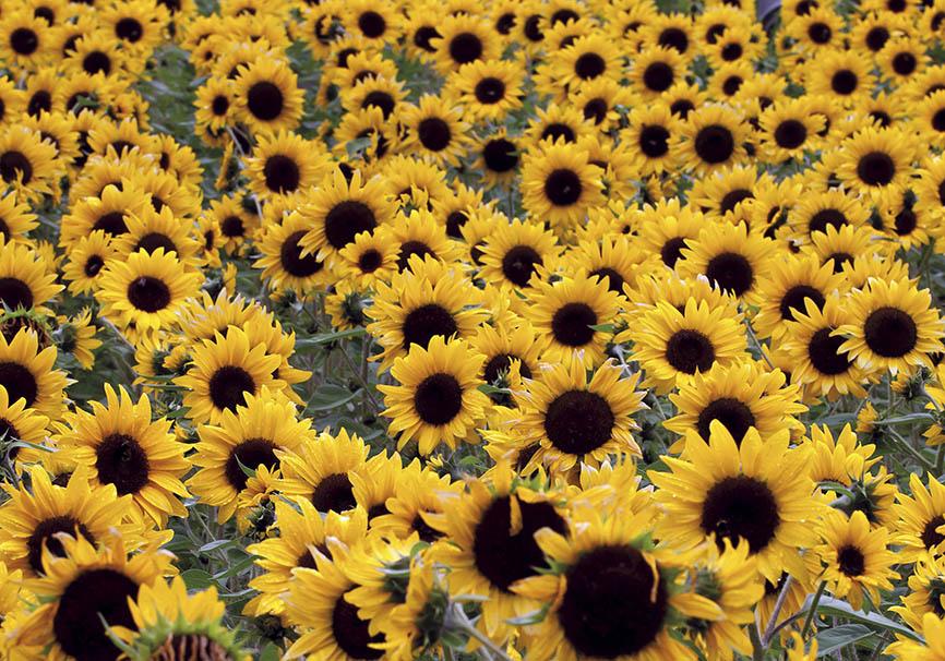 Helianthus annuus - Sonnenblumen -Trauttmansdorff -  - Trauttmansdorff - Meran