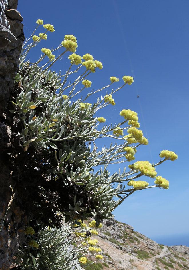 Helichrysum orientale - Östliche Strohblume  -  - Felsen - rocks