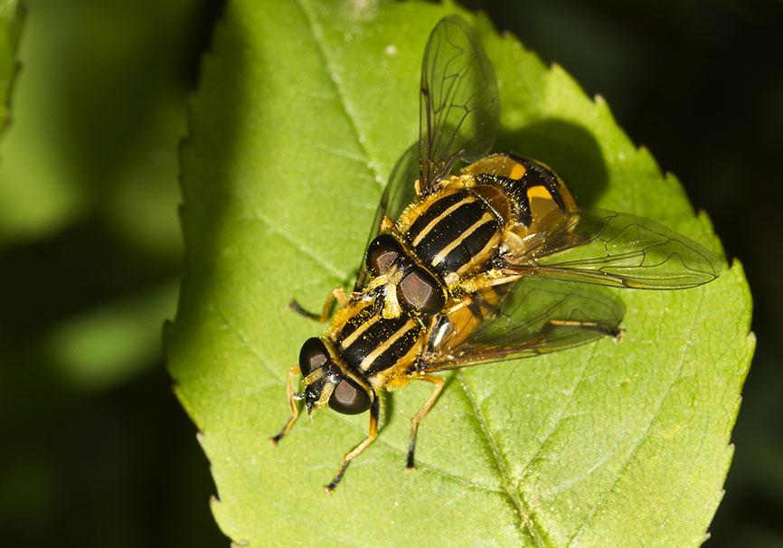 Heliophilus pendulus - Gemeine Sumpfschwebfliege -  - Brachycera (Fliegenartige) - Aschiza