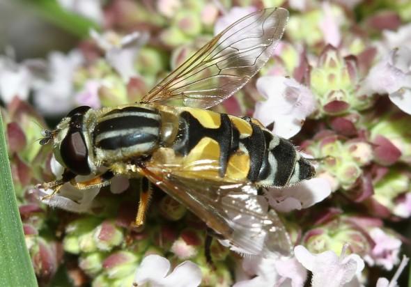 Heliophilus trivittatus - Große Sumpfschwebfliege  - Fam. Syrphidae - Schwebfliegen - Brachycera (Fliegenartige) - Aschiza