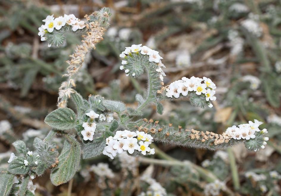 Heliotropium cf hirsutissimum -  - Ruderal vegetation