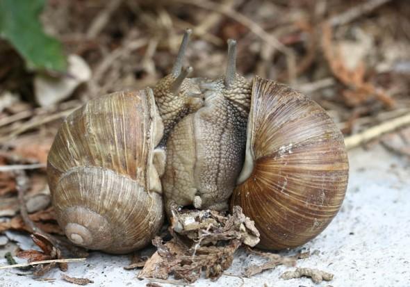 Helix pomatia - Weinbergschnecke - Kopula - Stylommatophora - Landlungenschnecken - snails, slugs