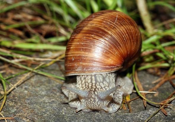 Helix pomatia - Weinbergschnecke - Fam. Helicidae - Schnirkelschencken - Stylommatophora - Landlungenschnecken - snails, slugs