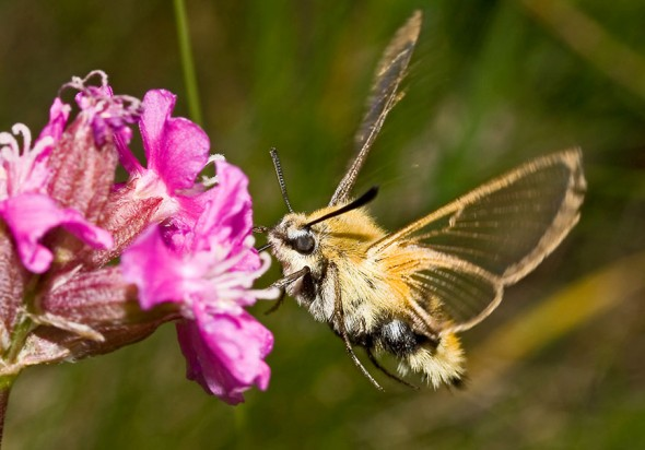 Hemaris tityus- Skabiosenschwärmer -  - Sphingidae - Schwärmer - hawk moths