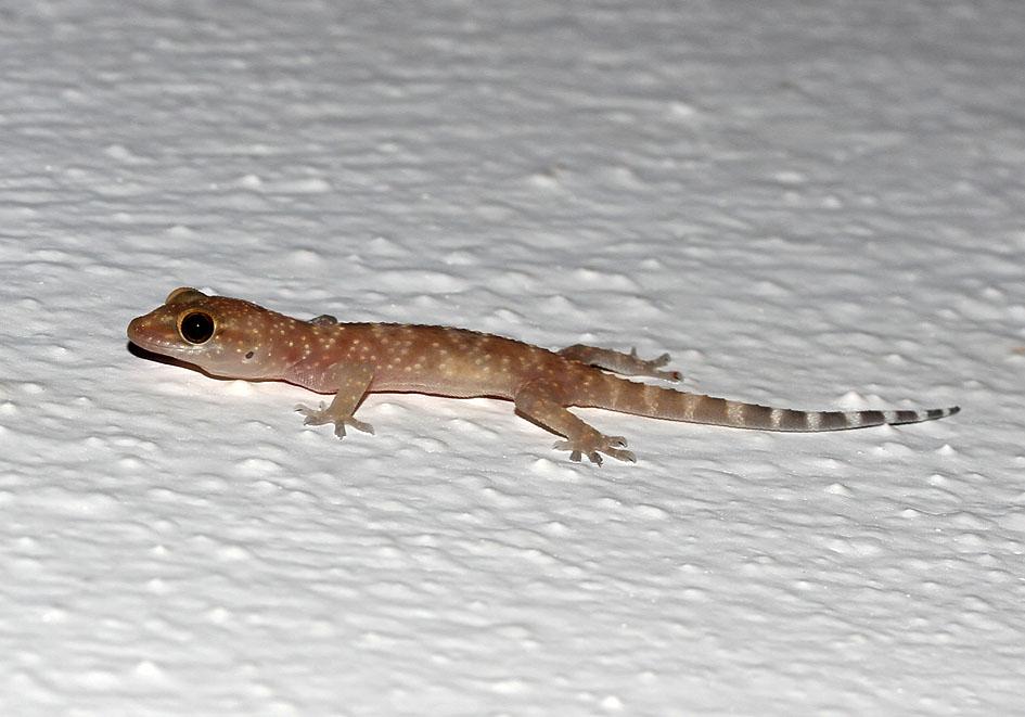 Hemidactylus turcicus - Europäischer Halbfinger - Samos - Lacertilia - Echsen - lizards