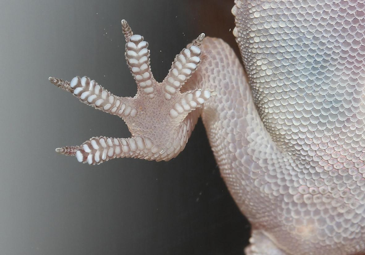 Hemidactylus turcicus - Europäischer Halbfinger - Amorgos - Lacertilia - Echsen - lizards
