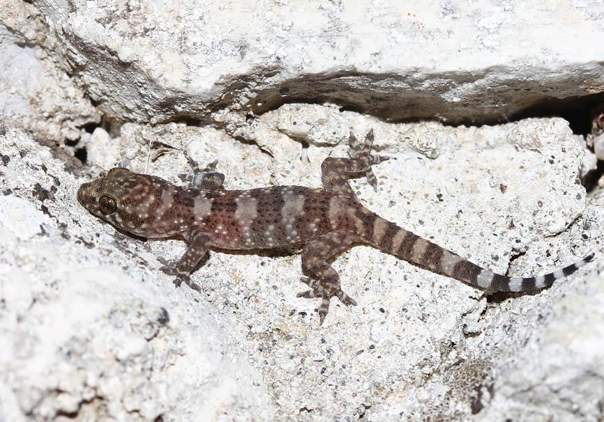 Hemidactylus turcicus - Europäischer Halbfinger - Korfu - Lacertilia - Echsen - lizards
