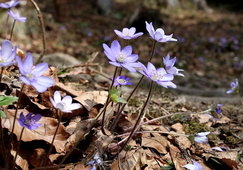 Hepatica nobilis - Leberblümchen - Fam. Ranunculaceae - Wald - forest