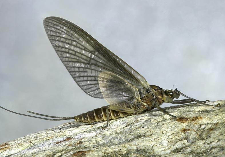 Heptageniidae Subimago -  - Ephemeroptera - Eintagsfliegen - mayflies