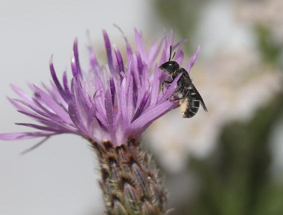 Heriades crenulatus - Gekerbte Löcherbiene -  - Apiformes - Megachilidae - Bienen - bees