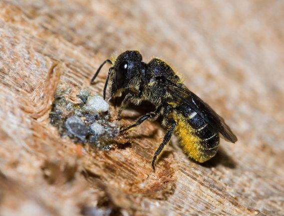 Heriades truncorum - Gemeine Löcherbiene -  - Apiformes - Megachilidae - Bienen - bees