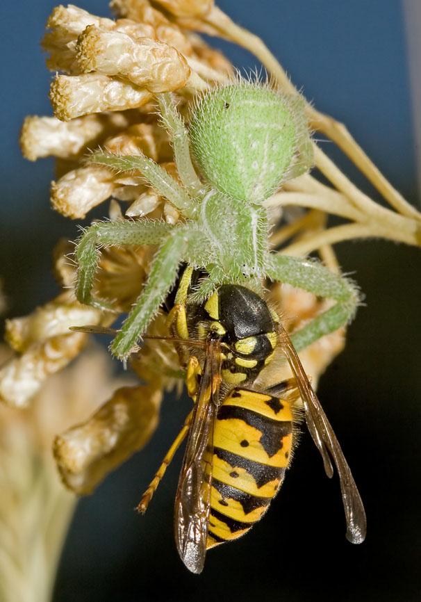 Fam. Thomisidae  - Heriaeus sp. - Kroatien - Araneae - Webspinnen - orb-weaver spiders